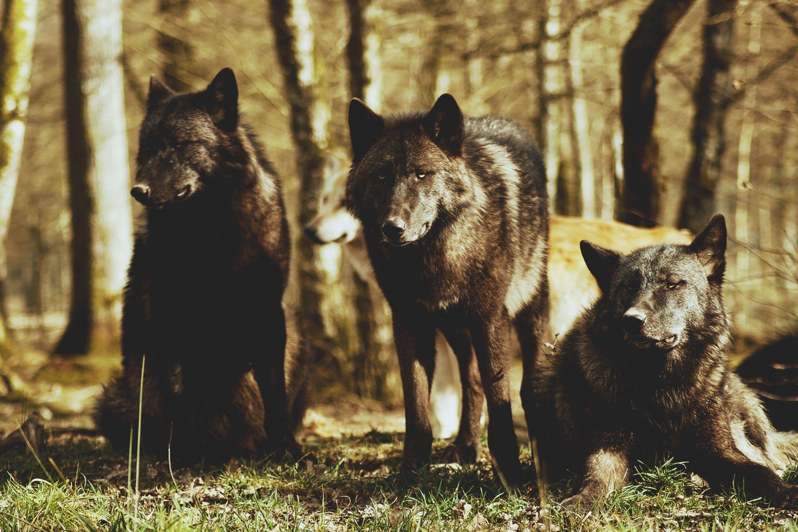 Los lobos de tu ausencia_escuchar poesía
